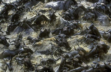 Blue wildebeest crossing the Mara River during migration Migration,Adult,Survival Adaptations,Mammalia,Mammals,Even-toed Ungulates,Artiodactyla,Bovidae,Bison, Cattle, Sheep, Goats, Antelopes,Chordates,Chordata,Animalia,Cetartiodactyla,taurinus,Herbivorous,D