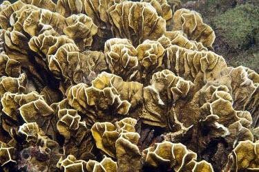 Millepora striata Millepora,Aquatic,Atlantic,IUCN Red List,Herbivorous,Milleporina,Endangered,Coral reef,Animalia,Marine,Photosynthetic,Hydrozoa,Cnidaria,Milleporidae,Particulate