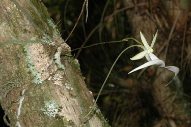 Ghost orchid in flower Mature form,Flower,Liliopsida,Orchidaceae,Wetlands,Photosynthetic,Dendrophylax,Arboreal,North America,Tracheophyta,Appendix II,Orchidales,Plantae