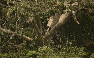 Group of greater-spot nosed guenons playing in a tree Forests,Social behaviour,Intra-specific behaviours,How does it live ?,Species in habitat shot,Habitat,Play with other(s) of same species,Climbing,Locomotion,Tropical,Old World Monkeys,Cercopithecidae,