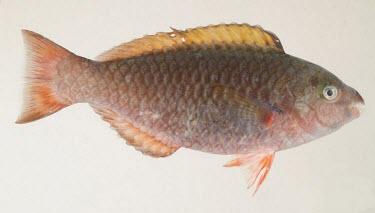 Common parrotfish specimen Adult,IUCN Red List,Indian,Pacific,Chordata,Herbivorous,Aquatic,Least Concern,Scarus,Marine,Animalia,Actinopterygii,Scaridae,Perciformes,Coral reef