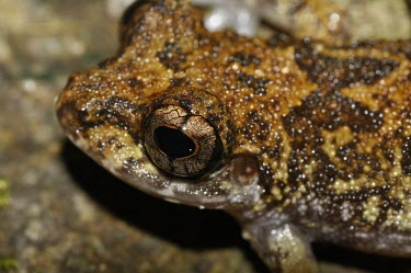 Grubby shrub frog head detail Adult,Rhacophoridae,Anura,Asia,Amphibia,Forest,Wetlands,Terrestrial,Aquatic,Chordata,IUCN Red List,Pseudophilautus,Animalia,Near Threatened,Sub-tropical