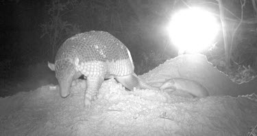 Camera trap image of giant armadillo emerging from burrow with infant Adult,Infant,Chordates,Chordata,Dasypodidae,Armadillos,Armadillo,Cingulata,Mammalia,Mammals,South America,Terrestrial,maximus,Priodontes,Carnivorous,Scrub,Endangered,Animalia,Grassland,Appendix I,IUCN