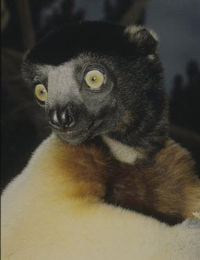 Crowned sifaka, captive Adult,coronatus,Herbivorous,Propithecus,Mammalia,Tropical,Appendix I,Indriidae,Animalia,Primates,Terrestrial,Africa,Chordata,Endangered,Arboreal,IUCN Red List