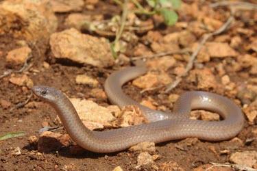 Flathead snake Adult,Terrestrial,IUCN Red List,North America,Carnivorous,Tantilla,Rock,Grassland,Animalia,Reptilia,Chordata,Temperate,Least Concern,Forest,Squamata,Colubridae