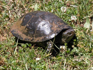 European pond turtle on grass Habitat,Species in habitat shot,Adult,Reptilia,Reptiles,Chordates,Chordata,Turtles,Testudines,Pond Turtles,Emydidae,Asia,Emys,Streams and rivers,Aquatic,Omnivorous,orbicularis,Wetlands,Africa,Ponds an