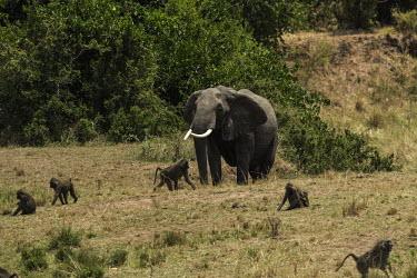 African elephant and baboons Olive baboons,Papio anubis,Elephants,Elephantidae,Chordates,Chordata,Elephants, Mammoths, Mastodons,Proboscidea,Mammalia,Mammals,Appendix I,Africa,Appendix II,Savannah,Herbivorous,Terrestrial,Animalia