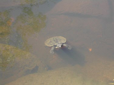 Namoi River snapping turtle at waters surface Adult,Swimming,Streams and Rivers,Species in habitat shot,Habitat,Locomotion,Freshwater,Australia,Animalia,Omnivorous,Elseya,Endangered,Aquatic,Chelidae,IUCN Red List,Streams and rivers,Terrestrial,be