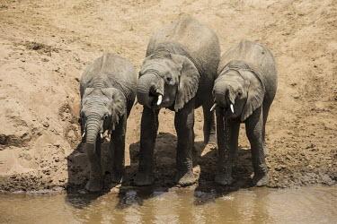 African elephants drinking from the river drinking,river,Elephants,Elephantidae,Chordates,Chordata,Elephants, Mammoths, Mastodons,Proboscidea,Mammalia,Mammals,Appendix I,Africa,Appendix II,Savannah,Herbivorous,Terrestrial,Animalia,Convention