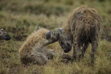 Female spotted hyaena grooming male female,male,grooming,hyena,Chordates,Chordata,Hyaenidae,Hyenas, Aardwolves,Carnivores,Carnivora,Mammalia,Mammals,Savannah,crocuta,Carnivorous,Least Concern,Africa,Tropical,Desert,Sub-tropical,Crocuta,
