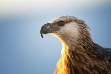 Madagascan fish eagle - Haliaeetus vociferoides madagascan fish eagle,haliaeetus vociferoides,madagascan sea eagle,sea eagle,madagascar,nosy be,accipitriformes,accipitridae,aquila del madagascar,eagle,Critically Endangered,Chordata,vociferoides,Pon