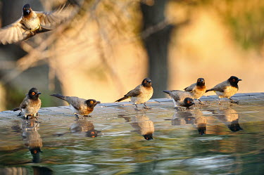 African red-eyed bulbul - Pycnonotus nigricans Bulbul,African Red-eyed Bulbul,Pycnonotus nigricans,passeriformes,Pycnonotidae