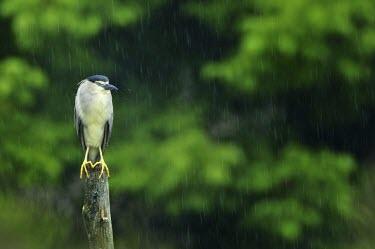 Black-crowned night heron - Nycticorax nycticorax Black-crowned Night Heron,Nycticorax nycticorax,airone,nitticora,heron,ardeidae,ciconiiformes,pelecaniformes,Aves,Birds,Ciconiiformes,Herons Ibises Storks and Vultures,Chordates,Chordata,Herons, Bitte