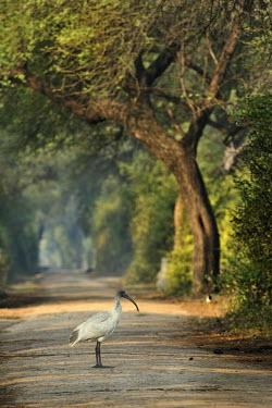 Black-headed ibis - Threskiornis melanocephalus threskiornis melanocephalus,back-headed ibis,pelecaniformes,threskiornithidae,india,bharatpur,Chordata,Near Threatened,Flying,Brackish,Temporary water,Streams and rivers,Grassland,Omnivorous,Tropical,