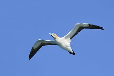 Cape gannet - Morus capensis Terrestrial,Sulidae,Shore,Carnivorous,Atlantic,Aves,Ocean,Indian,Vulnerable,Africa,Coastal,Flying,Pelecaniformes,Chordata,Animalia,Morus,capensis,IUCN Red List
