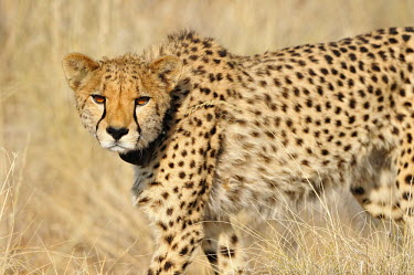 Cheetah - Acinonyx jubatus Chordates,Chordata,Carnivores,Carnivora,Mammalia,Mammals,Felidae,Cats,jubatus,Savannah,Appendix I,Africa,Acinonyx,Critically Endangered,Carnivorous,Terrestrial,Animalia,Endangered,Scrub,Vulnerable,IUC