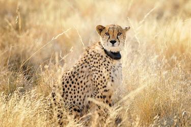 Cheetah - Acinonyx jubatus namibia,africa,felino,ghepardo,ghepard,Acinonyx jubatus,Cheetah,Chordates,Chordata,Carnivores,Carnivora,Mammalia,Mammals,Felidae,Cats,jubatus,Savannah,Appendix I,Africa,Acinonyx,Critically Endangered,