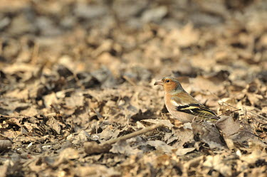 Common chaffinch - Fringilla coelebs Fringuello,Fringilla,Fringilla coelebs,Fringillidae,Passeriformes,italy,racconigi,Common Chaffinch,Grossbeaks, Crossbills,Aves,Birds,Perching Birds,Chordates,Chordata,Common,Flying,Temperate,Urban,Eur