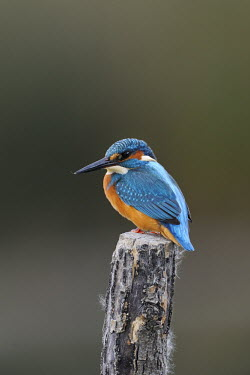 Common kingfisher - Alcedo atthis Common Kingfisher,Alcedo atthis,martin pescatore,Alcedinidae,Coraciiformes,Kingfisher,Aves,Birds,Chordates,Chordata,Rollers Kingfishers and Allies,Kingfishers,Wetlands,Streams and rivers,Flying,Carniv