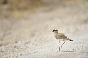 Crowned lapwing - Vanellus coronatus Crowned Lapwing,lapwing,africa,namibia,Vanellus coronatus