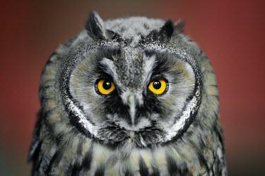 Eurasian eagle-owl - Bubo bubo Eurasian Eagle-Owl,Bubo bubo,owl,gufo reale,gufo,chick,baby,Chordates,Chordata,True Owls,Strigidae,Owls,Strigiformes,Aves,Birds,Europe,bubo,Agricultural,Rock,Temperate,Appendix II,Carnivorous,Scrub,Ta