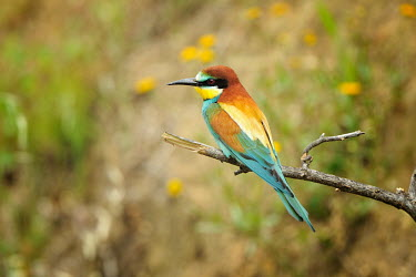 European bee-eater - Merops apiaster gruccioni,bee eater,nesting,eating,Coraciiformes,Meropidae,gruccione,Merops apiaster,European Bee-eater,Chordates,Chordata,Rollers Kingfishers and Allies,Aves,Birds,Bee-eaters,Carnivorous,Riparian,Mer