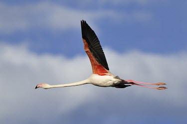 Greater Flamingo - Phoenicopterus roseus camargue,fenicotteri,fenicottero,flamingo,Greater Flamingo,Phoenicopterus roseus,Phoenicopteridae,Phoenicopteriformes,Ciconiiformes,Herons Ibises Storks and Vultures,Chordates,Chordata,Flamingos,Aves,