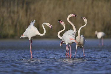 Greater Flamingo - Phoenicopterus roseus -,camargue,fenicotteri,fenicottero,flamingo,Greater Flamingo,Phoenicopterus roseus,Phoenicopteridae,Phoenicopteriformes,Ciconiiformes,Herons Ibises Storks and Vultures,Chordates,Chordata,Flamingos,Ave