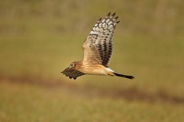 Hen Harrier - Circus cyaneus albanella,albanella reale,Circus cyaneus,Hen Harrier,rapace,birds of prey,falconiformes,Accipitridae,Accipitriformes,Hawks, Eagles, Kites, Harriers,Chordates,Chordata,Ciconiiformes,Herons Ibises Stork