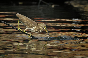 Indian Pond Heron - Ardeola grayii indian pond heron,paddybird,pelecaniformes,ardeidae,heron,airone,india,varanasi,gange,Aves,Ardeidae,Ponds and lakes,Asia,Temporary water,Wetlands,Aquatic,Chordata,Least Concern,Terrestrial,grayii,Anim