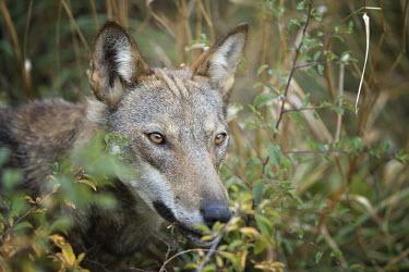 Italian wolf - Canis lupus italicus eurasian wolf,canis lupus lupus,wolf,lupo appenninico,lupo italiano,italian wolf,lupo,abruzzo,canidae,carnivora,mammalia,mammals