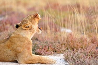 Lion - Panthera leo africa,namibia,etosha,lion,leone,panthera leo,Felidae,Cats,Mammalia,Mammals,Carnivores,Carnivora,Chordates,Chordata,leo,Animalia,Savannah,Africa,Scrub,Appendix II,Asia,Panthera,Vulnerable,Desert,Terre