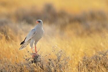 Pale Chanting Goshawk - Melierax canorus falconiformes,Accipitridae,etosha,namibia,Melierax canorus,goshawk,Pale Chanting Goshawk