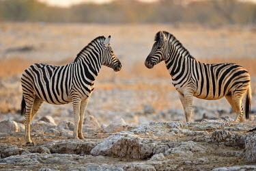Plains zebra - Equus quagga etosha,namibia,africa,zebra,Plains zebra,Equus quagga,Least Concern,quagga,Streams and rivers,Mammalia,Perissodactyla,Ponds and lakes,Equidae,Equus,Africa,Terrestrial,Savannah,Herbivorous,Temporary wa