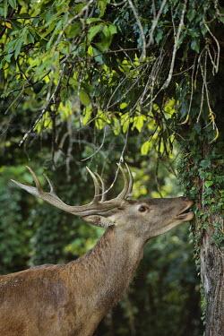 Red deer - Cervus elaphus cervo nobile,cervo rosso,cervus elaphus,artiodactyla,cervidae,ruminantia,red deer,cervo,deer,abruzzo,Even-toed Ungulates,Artiodactyla,Cervidae,Deer,Chordates,Chordata,Mammalia,Mammals,Species of Conse