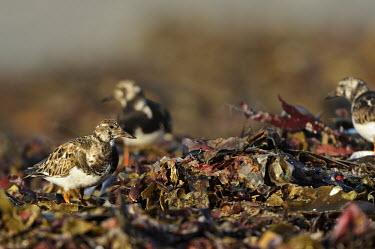 Ruddy turnstone - Arenaria interpres namibia,scolopacidae,charadriiformes,voltapietre,Turnstone,Ruddy Turnstone,Sandpipers, Phalaropes,Scolopacidae,Chordates,Chordata,Aves,Birds,Ciconiiformes,Herons Ibises Storks and Vultures,Carnivorous