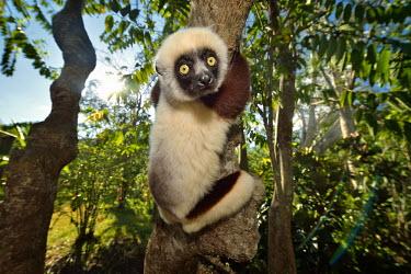 Verreaux's sifaka - Propithecus verreauxi verreaux sifaka,propithecus verreauxi,lemur,lemure,madagascar,mammalia,primates,indriidae,propithecus,sifaka,Chordates,Chordata,Indridae,Primates,Mammalia,Mammals,Animalia,Herbivorous,Appendix I,verre