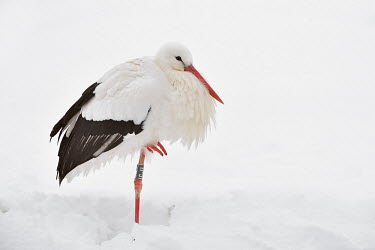 White stork - Ciconia ciconia cicogna bianca,White Stork,Ciconia ciconia,ciconiiformes,ciconidae,cicogna,snow,winter,Asia,Africa,Temperate,Flying,Animalia,Ciconia,Least Concern,Aves,Agricultural,ciconia,Ciconiidae,Carnivorous,Cico