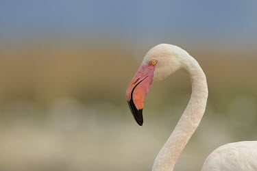 Greater Flamingo - Phoenicopterus roseus camargue,fenicotteri,fenicottero,flamingo,Greater Flamingo,Phoenicopterus roseus,Phoenicopteridae,Phoenicopteriformes,Ciconiiformes,Herons Ibises Storks and Vultures,Chordates,Chordata,Flamingos,Aves,