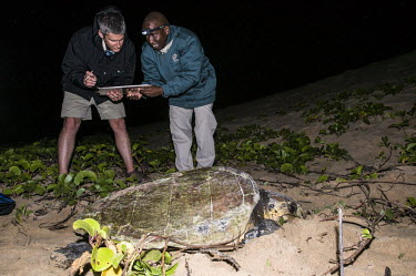 Loggerhead turtle tagging South Africa,cold blooded,iSimangaliso Wetland Park,photography,reptile,turtle,vertical,Chordata,Atlantic,Animalia,Aquatic,Coastal,Reptilia,Appendix I,Cheloniidae,Caretta,Testudines,Pacific,Herbivorou