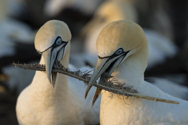 Cape Gannet pair bonding with a discarded feather African bird,Birds,Cape Gannet,Horizontal,Islands,Malgas Island,Marine Protected Area,Outdoors,Seabirds,South Africa,Western Cape,adults playing with feather,africa,african wildlife,animal,avian,color