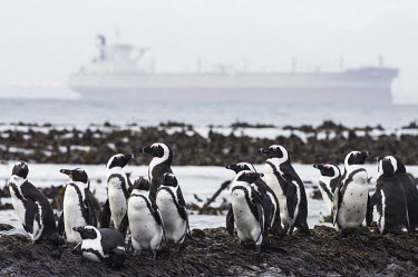 An Iron-ore tanker cruises past in the distance as endangered African Penguins rest on the coastline African Penguin,African conservation photography,Coastline,Horizontal,Islands,Marine Parks Photographic Survey,Robben Island,Seabirds,South Africa,Western Cape,World Heritage Site,africa,african,avian