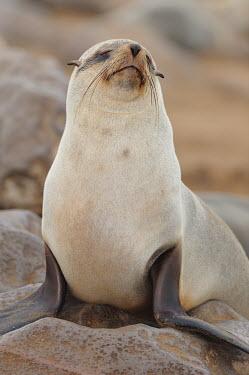 Brown fur seal - Arctocephalus pusillus Brown Fur Seal,Arctocephalus pusillus,seal,namibia,south africa,fur seal,otaria,Otariidae,Eared Seals,Carnivores,Carnivora,Chordates,Chordata,Mammalia,Mammals,Atlantic,Africa,pusillus,Appendix II,Carn