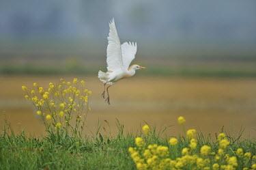 Cattle egret - Bubulcus ibis pelecaniformes