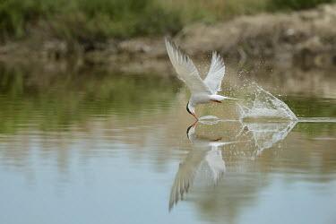 Common tern Common Tern,Sterna hirundo,camargue,Charadriiformes,Sternidae,sterna comune,Ciconiiformes,Herons Ibises Storks and Vultures,Chordates,Chordata,Aves,Birds,Laridae,Gulls, Terns,Europe,Brackish,Africa,Fr