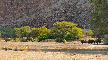 Desert elephant - Loxodonta africana kunene,namibia,kunene river,pachiderma,elephant,elefante,elefante del deserto,Desert Elephant,africa,Loxodonta africana,Elephants,Elephantidae,Chordates,Chordata,Elephants, Mammoths, Mastodons,Probosc