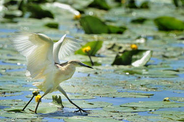 Squacco Heron - Ardeola ralloides Pelecaniformes,Ardeidae,Squacco Heron - Ardeola ralloides,sgarza ciuffetto,Europe,Wetlands,Flying,Ponds and lakes,Aves,Ardeola,Africa,Chordata,ralloides,Carnivorous,Animalia,Ciconiiformes,Terrestrial,