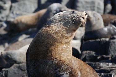 Australian fur seal Marsupial,Wild,Otariidae,Eared Seals,Carnivores,Carnivora,Chordates,Chordata,Mammalia,Mammals,Atlantic,Africa,pusillus,Appendix II,Carnivorous,Shore,Terrestrial,Pacific,Arctocephalus,Ocean,Least Conce