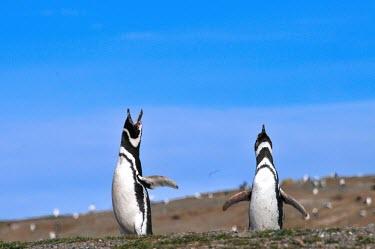 Pair of magellanic penguins calling Bird,calling,penguin,display,Wild,Spheniscidae,Penguins,Chordates,Chordata,Ciconiiformes,Herons Ibises Storks and Vultures,Aves,Birds,Spheniscus,Terrestrial,Near Threatened,South America,Ocean,Carnivo