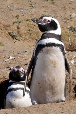 Magellanic penguins at nest hole penguin,nest hole,Wild,Spheniscidae,Penguins,Chordates,Chordata,Ciconiiformes,Herons Ibises Storks and Vultures,Aves,Birds,Spheniscus,Terrestrial,Near Threatened,South America,Ocean,Carnivorous,Animal